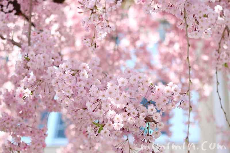 しだれ桜・枝垂桜の画像