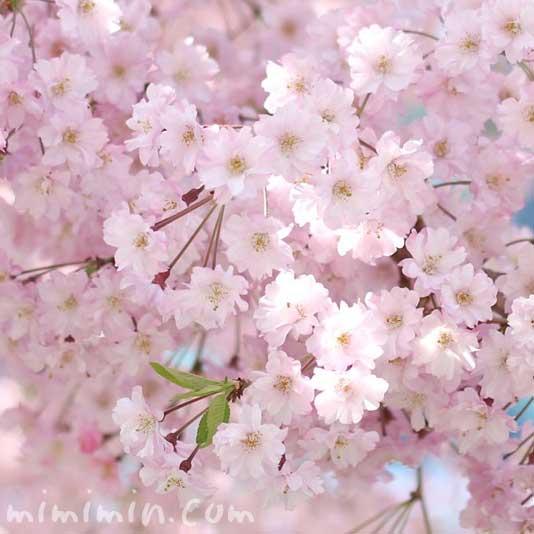 しだれ桜(枝垂れ桜)の写真