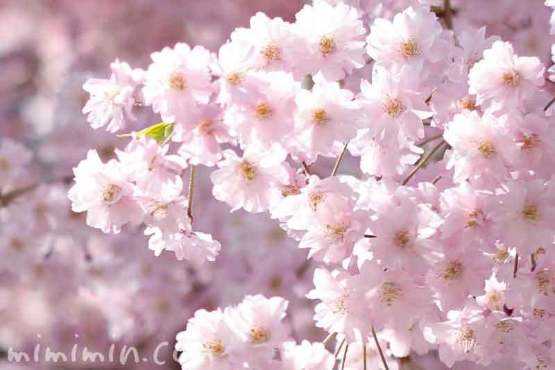 ピンクの桜(枝垂れ桜)の画像