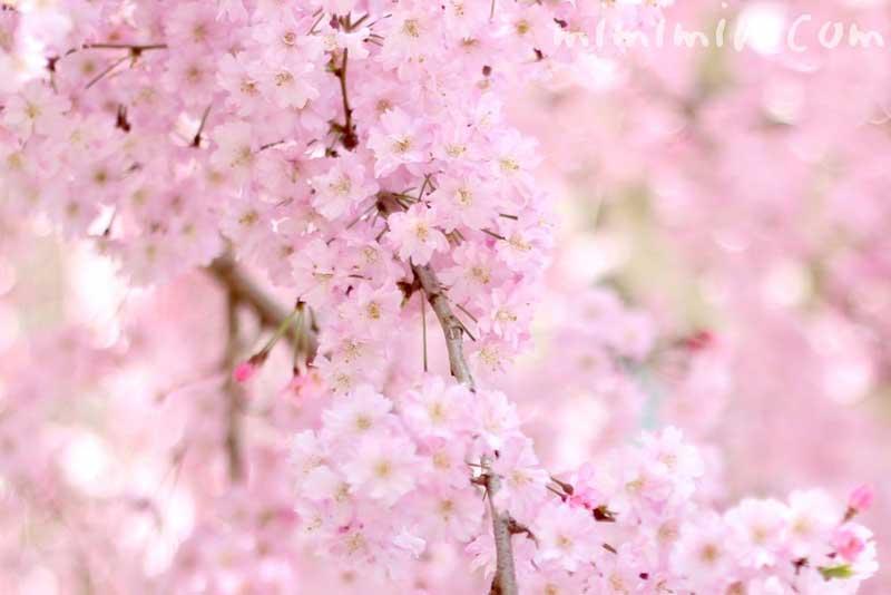 しだれ桜(桃色)の写真
