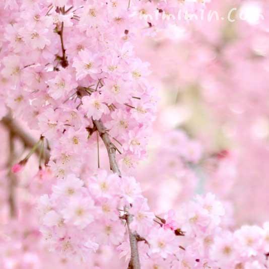 しだれ桜 ピンクの画像