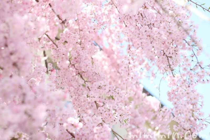 しだれ桜・枝垂れ桜(ピンク)の写真