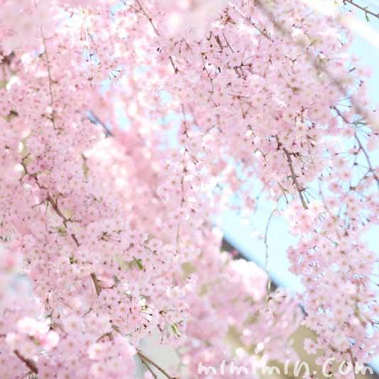 ピンク色のしだれ桜の画像