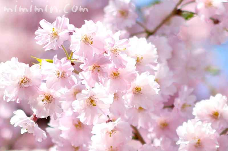 ピンクの桜(しだれ桜)の画像
