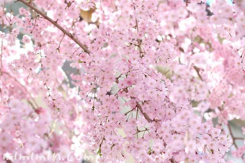 しだれ桜・シダレザクラ(ピンク)の画像