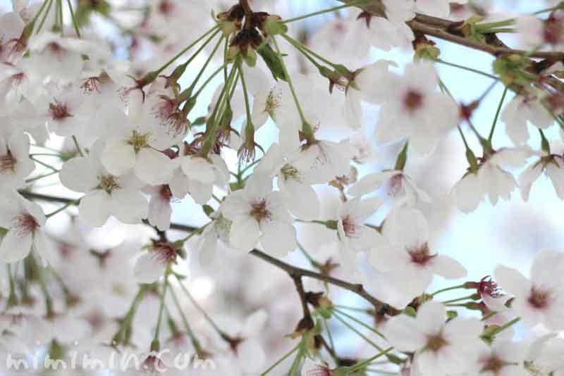 サクラ(桜)の画像