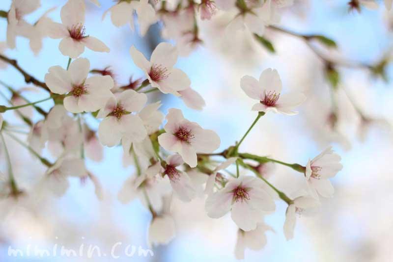 サクラの花(桜)の写真