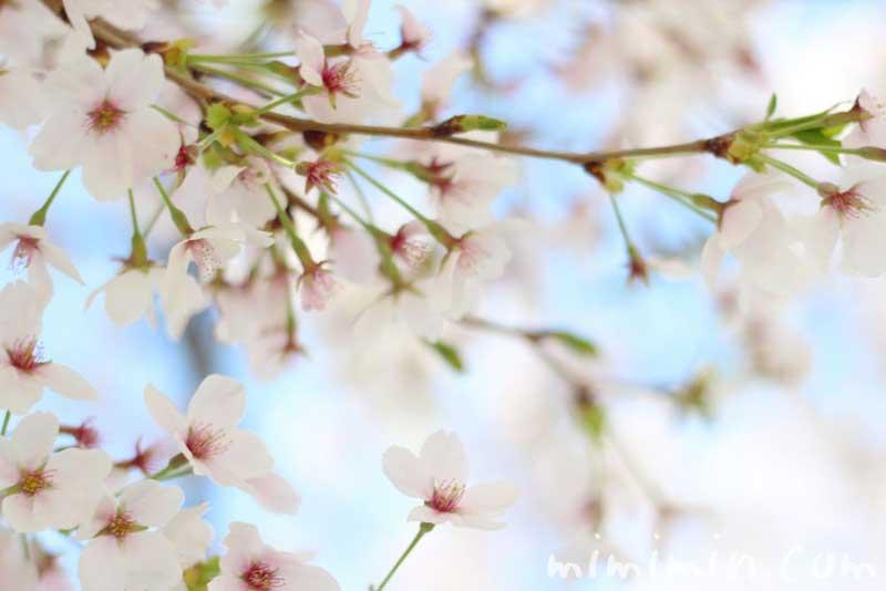 桜 ソメイヨシノの写真
