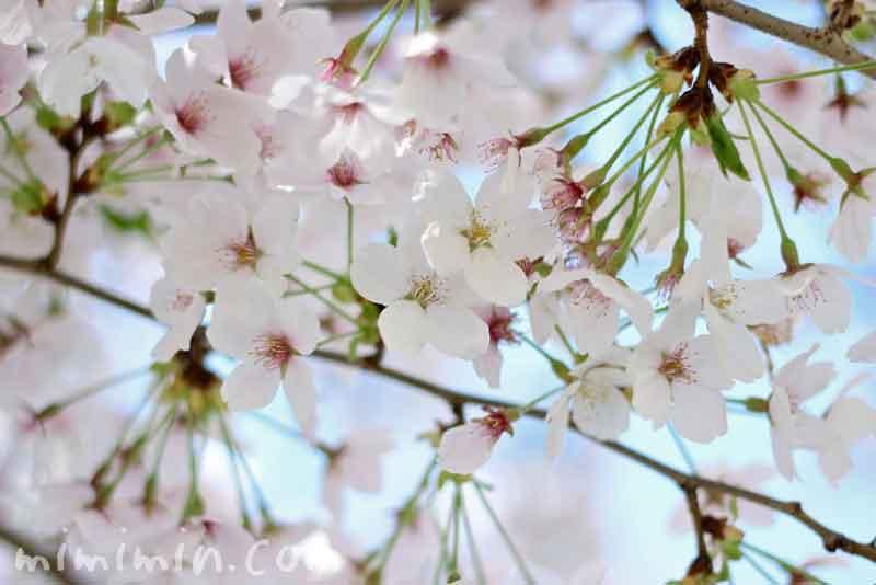 散りかけの桜の花の画像