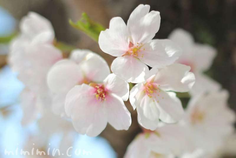 染井吉野の花の画像