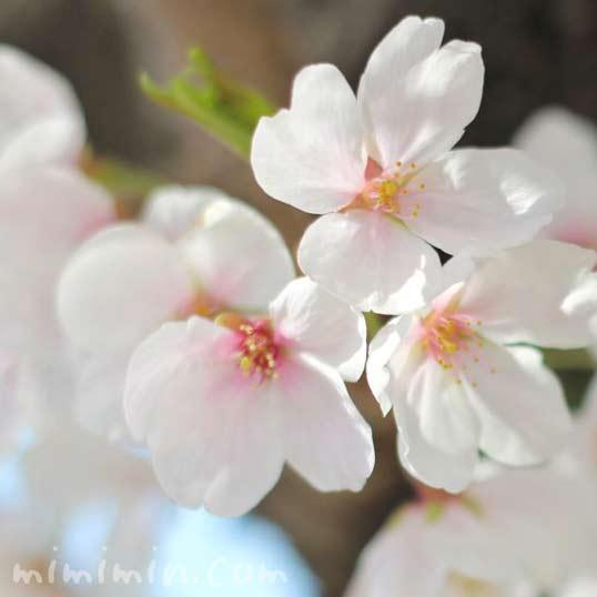 ソメイヨシノの花の画像