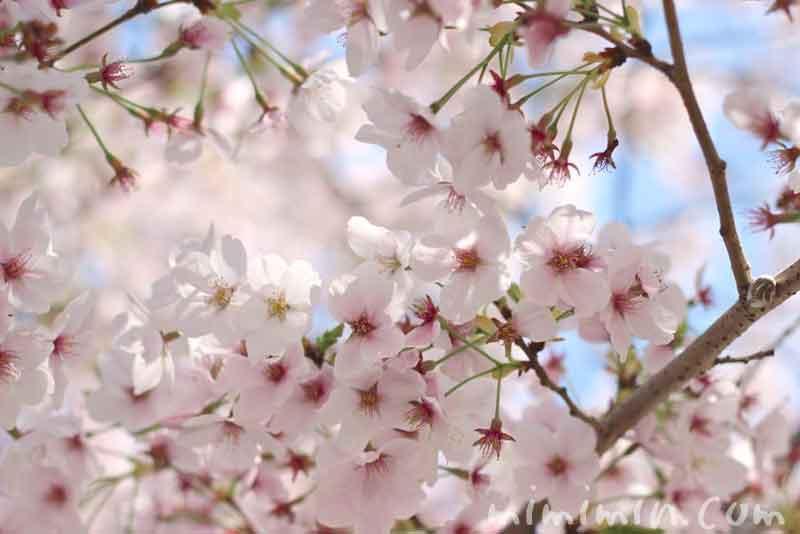 散りかけの桜の花(ソメイヨシノ)の写真