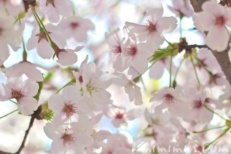 散りかけの桜(ソメイヨシノ)の画像