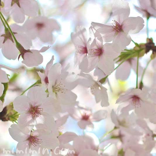 散りかけの桜の写真