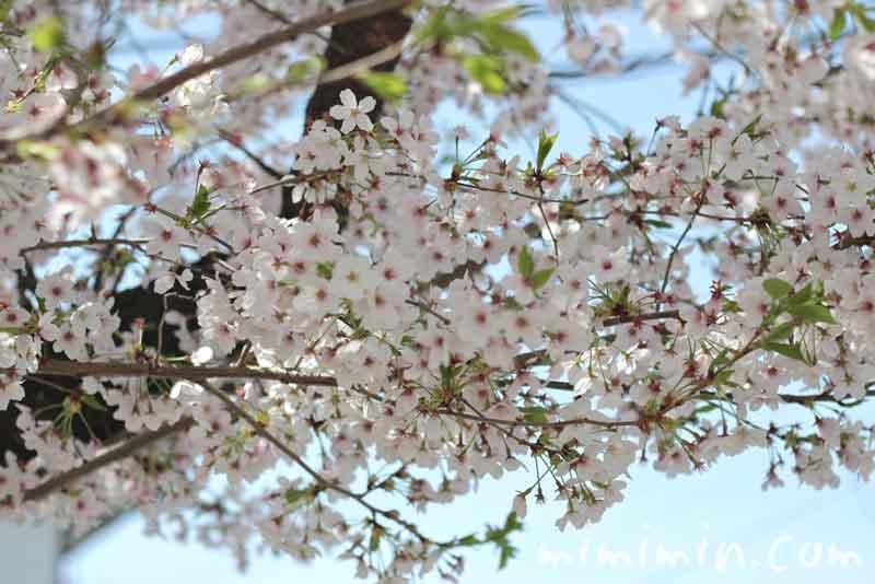 青空と染井吉野の写真