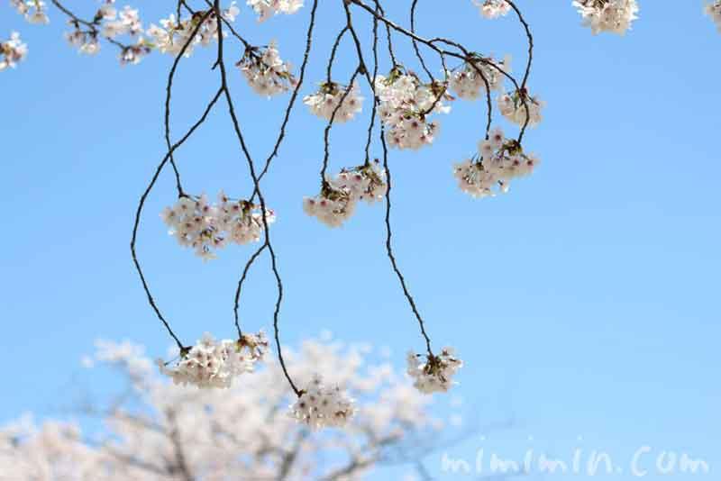 青空と桜の花の画像