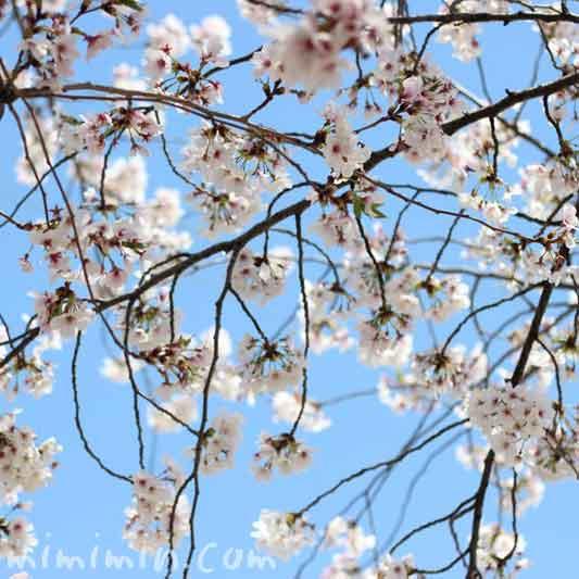 桜の花と青空の画像