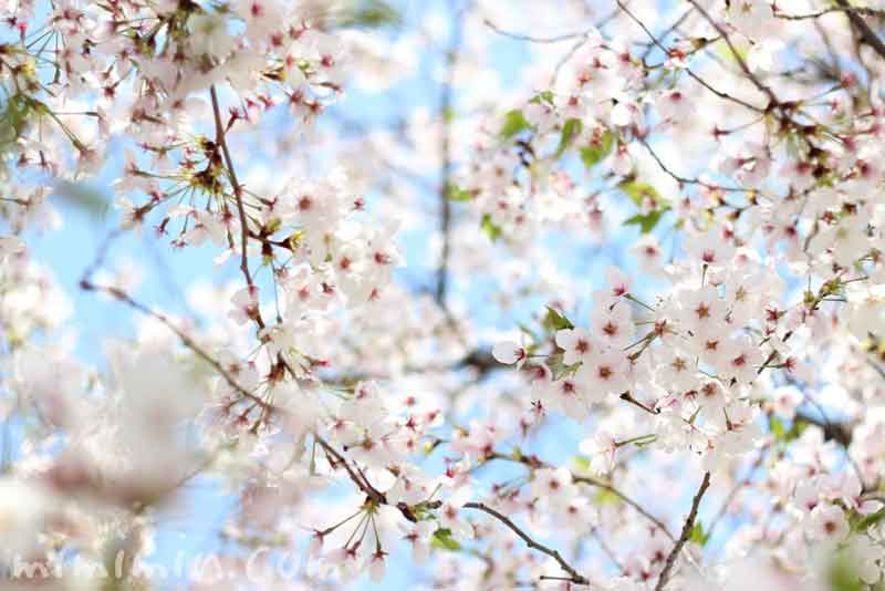 青空と桜の花(ソメイヨシノ)の画像