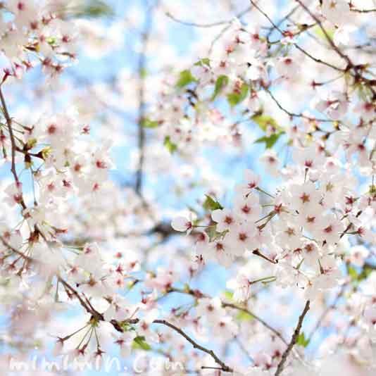 桜・ソメイヨシノの花の画像