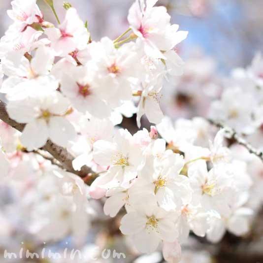 桜(さくら)の画像