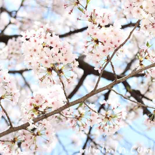 青空と桜(ソメイヨシノ)の写真