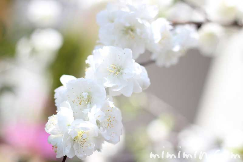 白い桃の花の写真