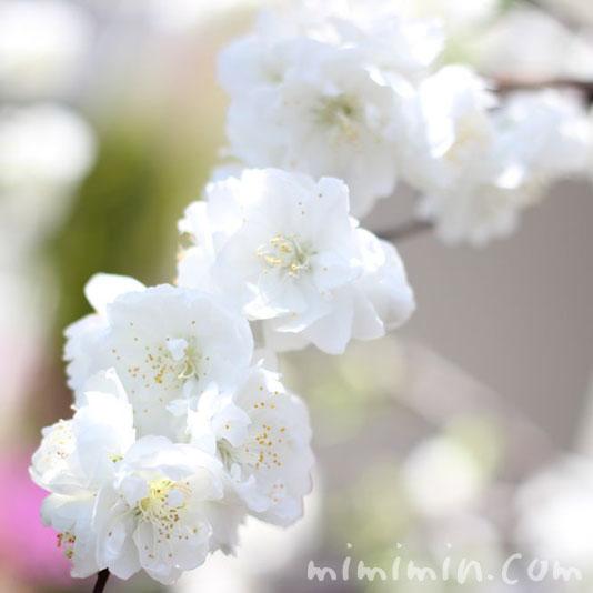白い桃の画像