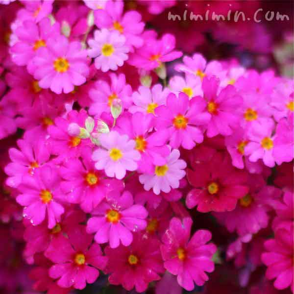 西洋桜草(プリムラマラコイデス)の写真