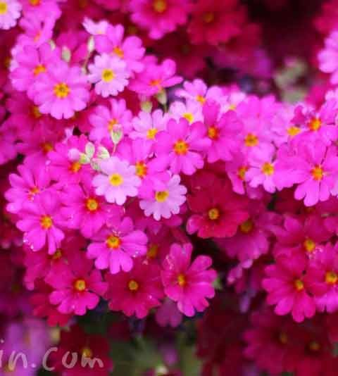西洋桜草(プリムラマラコイデス)の花の写真&花言葉