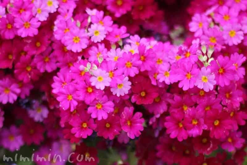 西洋桜草(西洋サクラソウ)の画像