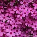 シバザクラ(芝桜)の画像
