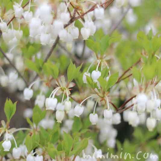 ドウダンツツジの花の写真
