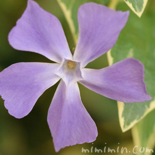 ツルニチニチソウの花・紫の写真