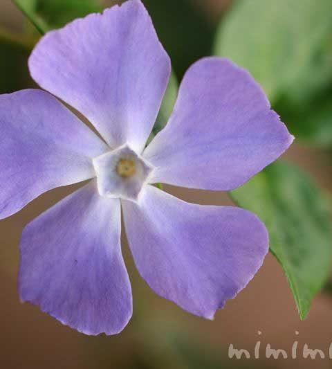 ツルニチニチソウ(蔓日々草)の花言葉・花の写真