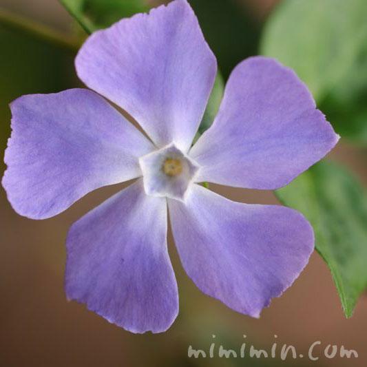 ツルニチニチソウ・紫の画像