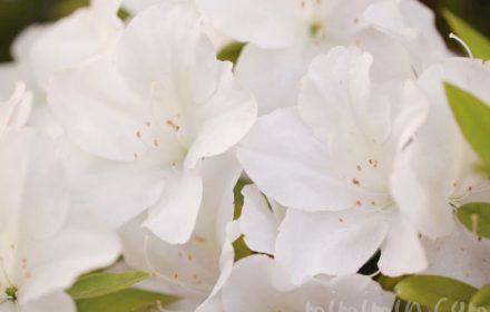 ツツジ(白)の花の写真