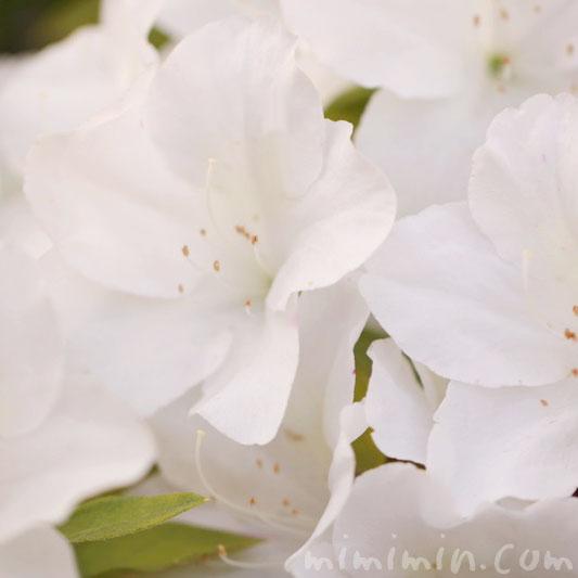 白い躑躅の花の写真