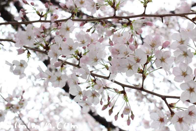 桜 目黒川の画像