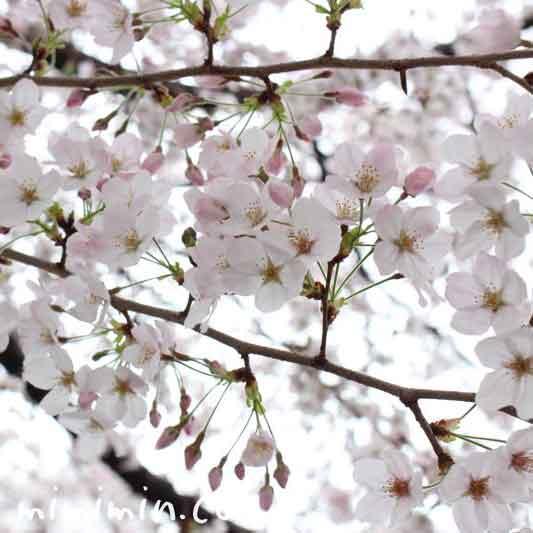 桜の花 目黒川の写真