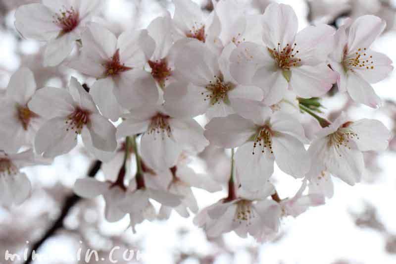 ソメイヨシノの写真