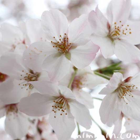 目黒川のお花見の写真