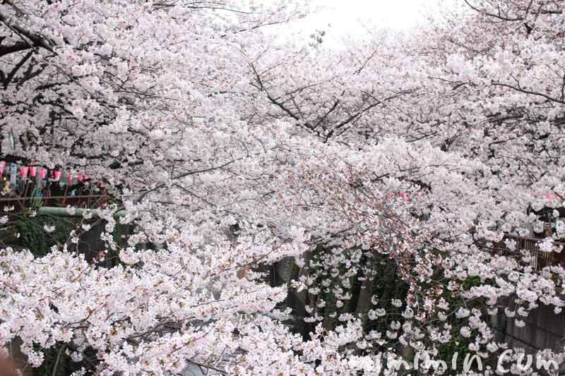 目黒川のお花見 2016の画像