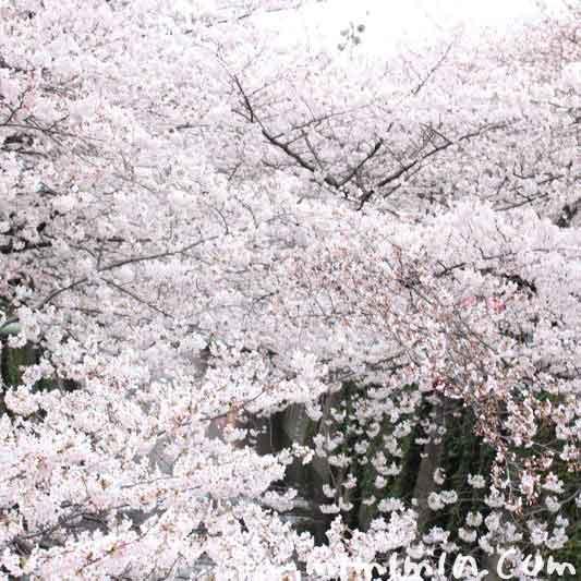 目黒川の桜  2016の画像
