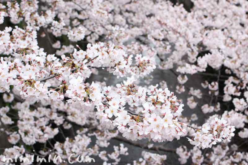 目黒川の桜  お花見2016の画像