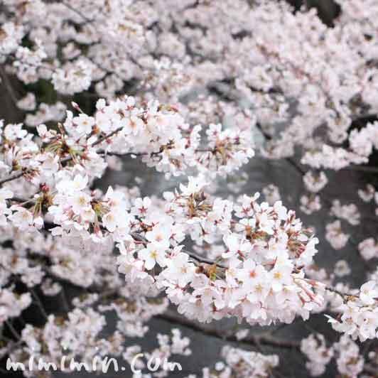 お花見 目黒川の桜 の写真