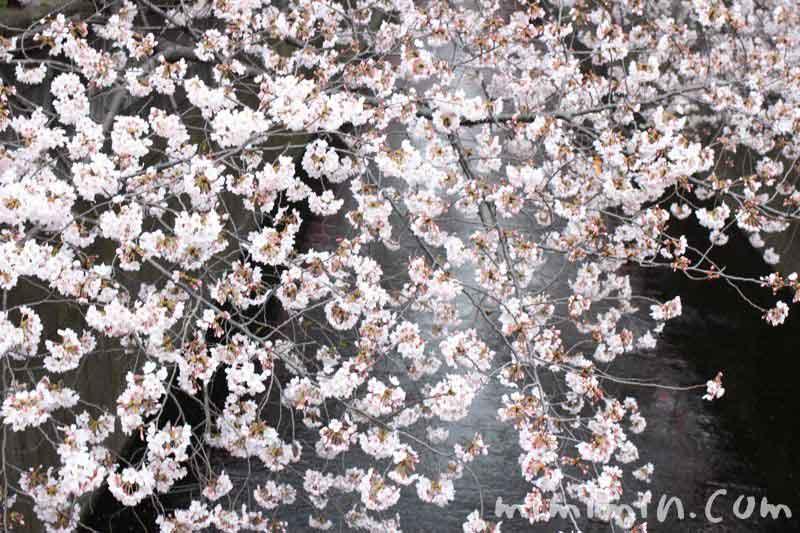 お花見 目黒川のサクラの画像