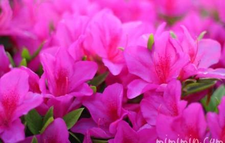 赤紫色のつつじの花の写真