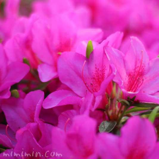 つつじの花(赤紫)の画像