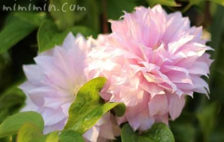 クレマチス 八重咲きの画像