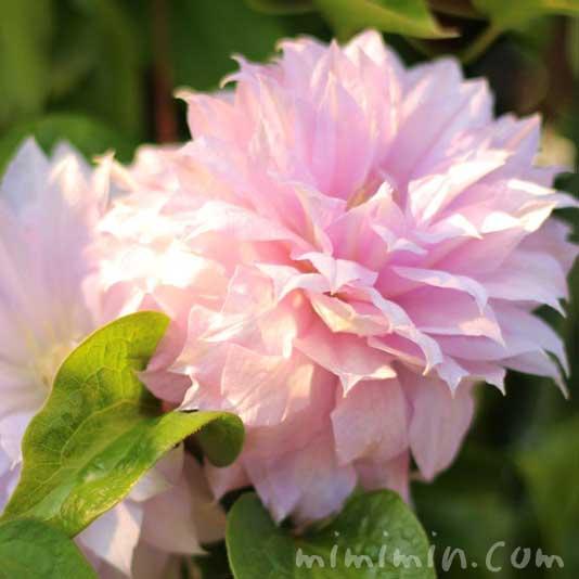 八重咲きクレマチスの花の写真